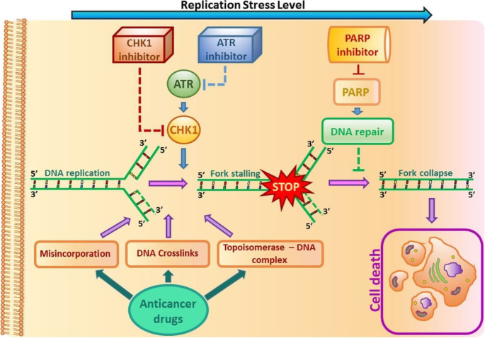 NRF2 inhibition causes repression of ATM and ATR expression leading to aberrant DNA Damage Response