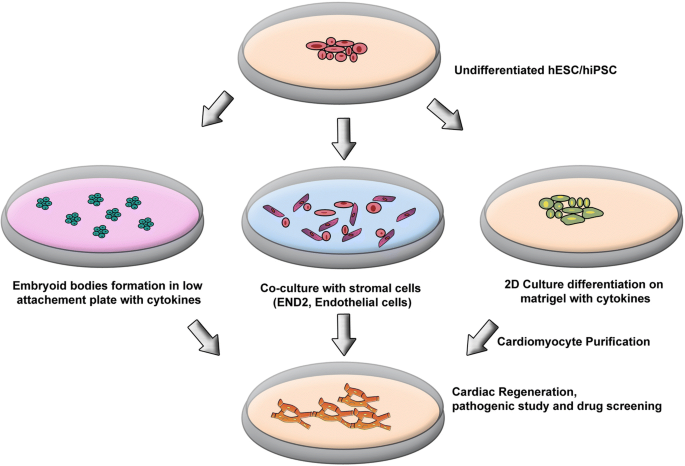 We heart cultured hearts. A comparative review of methodologies for targeted differentiation and maintenance of cardiomyocytes derived from pluripotent and multipotent stem cells