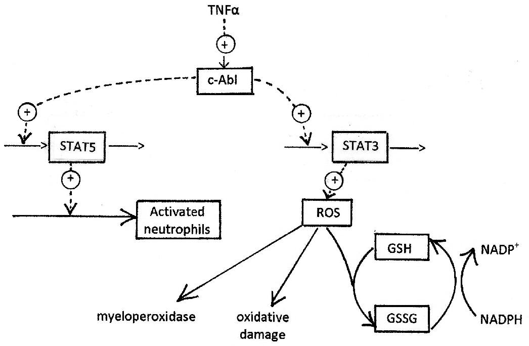Modelling c-Abl Signalling in Activated Neutrophils: The Anti-inflammatory Effect of Seliciclib