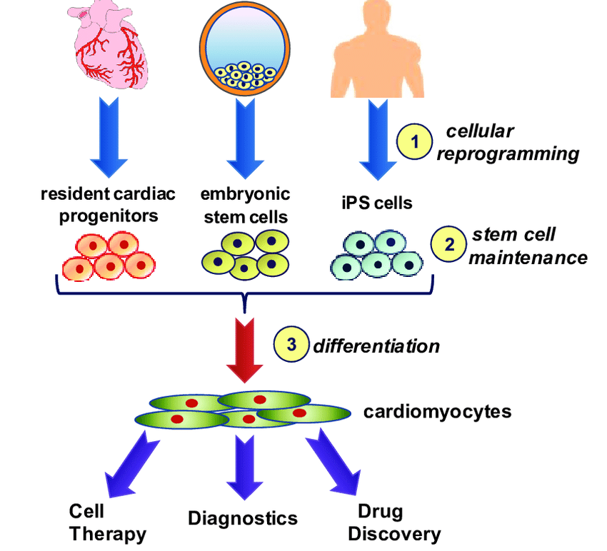 Small molecules and human cardiomyogenesis: Is there a bottleneck in current research?