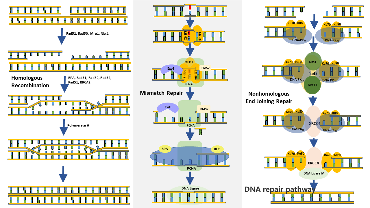 DNA repair systems