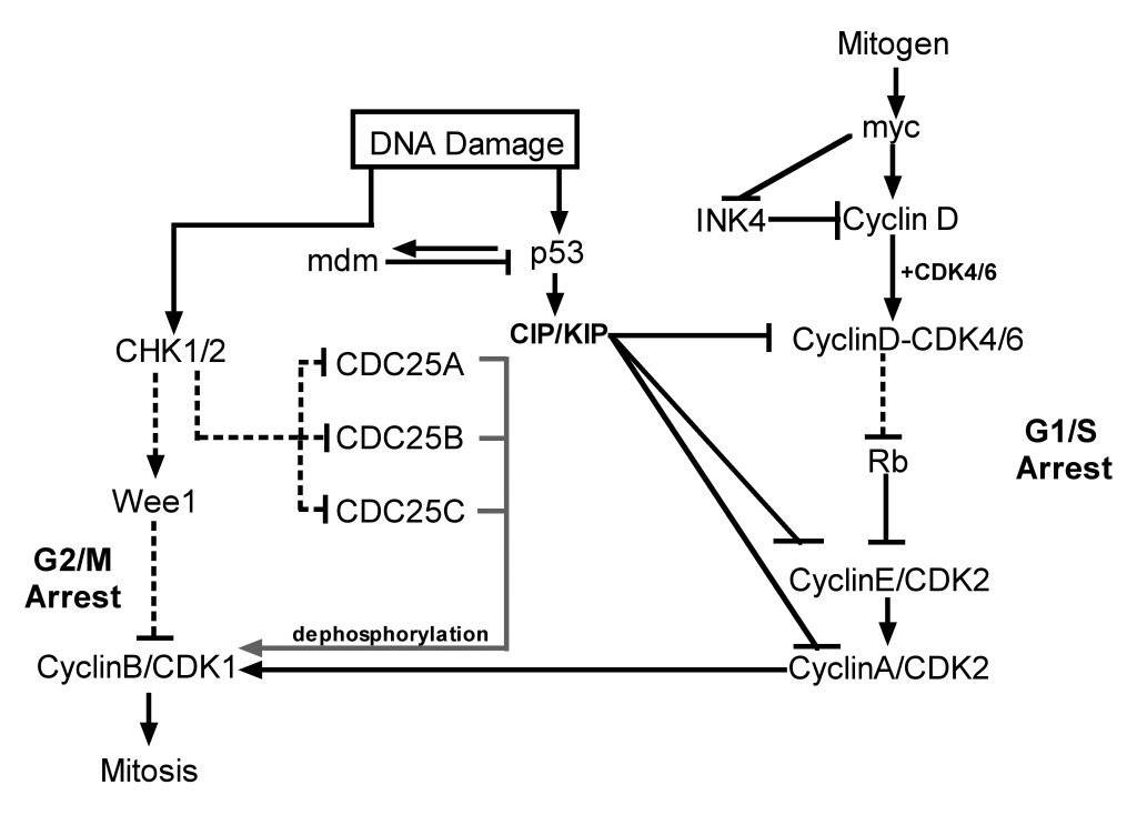 Targeting ATM pathway for therapeutic intervention in cancer